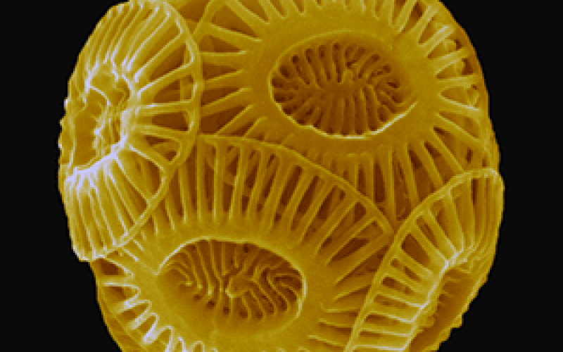 The Magical World of Coccolithophores