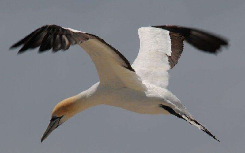 Like a gannet