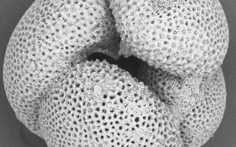 Foraminifera: Predictors of Past Climates, contributor Marci Robinson
