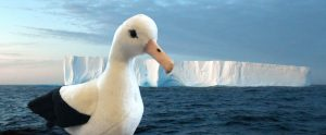A cute stuffed albatross toy in front of a tabular iceberg at dawn on the Southern Ocean