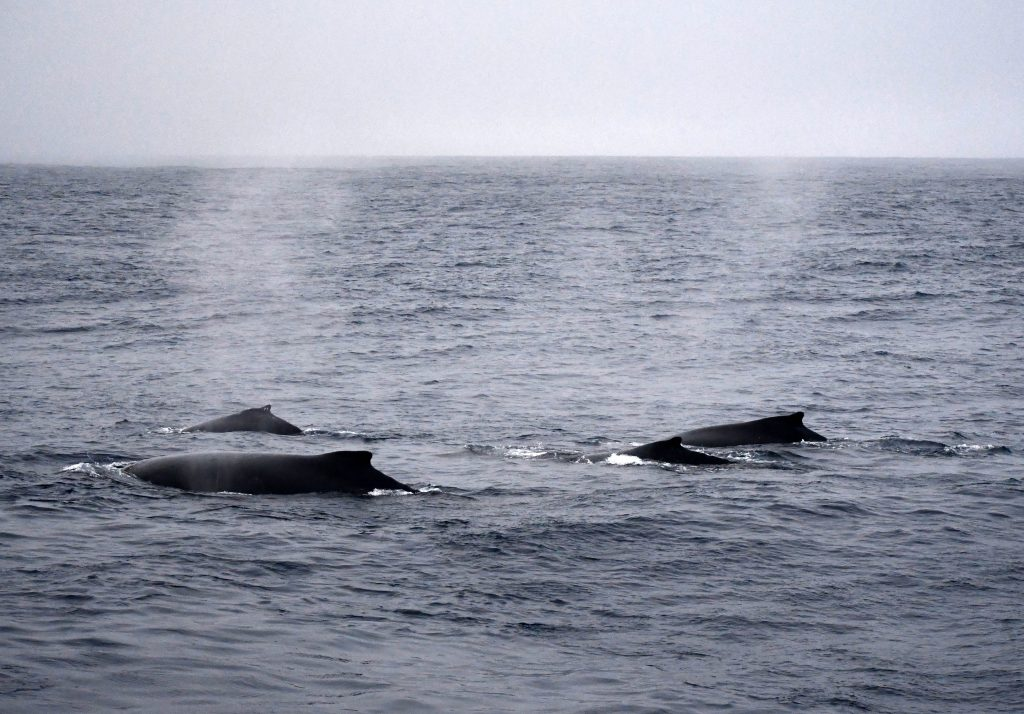Backs of 3 or 4 humback whales surfacing